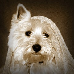 dog pet white westie canine terrier yoshi bestinshow lmaoanimalphotoaward