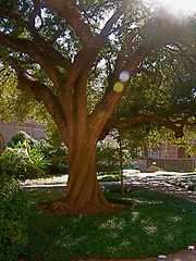 Whimsical Tree (amandak2323) Tags: tree lsu whimsical twisty twistytree whimsicaltree