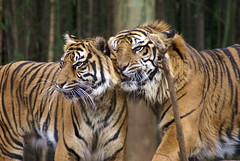 Huggies and Snuggies (seeit_snapit) Tags: cat snuggle zoo texas waco stripes sony tiger bigcat cameron siberiantiger blueribbonwinner supershot impressedbeauty unature alphadslra100 empyreananimals seeitsnapit goldstaraward huggiesandsnuggies photobydeedee