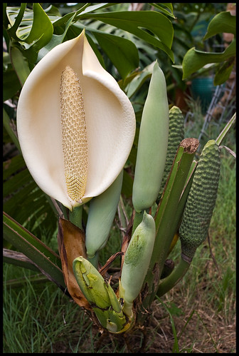 Fruit Salad Plant - Monstera deliciosa-1+