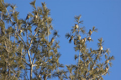 waxflock (reyfox) Tags: winter flock boise cedar bohemian waxwings