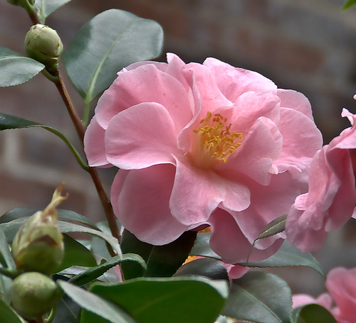 Missouri Botanical Gardens, in Saint Louis, Missouri - camellias 2