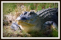 Alligator - animal - wildlife
