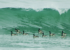 Beach Break Brant (cruadinx) Tags: beach surf wave crest goose rhodeisland brant middletownri beachbreak seagoose sachuest brantabernicla duckdive sachuestbeach