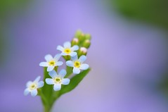 Tenderly (*Sakura*) Tags: blue flower macro green yellow japan tokyo spring purple blossom violet explore sakura     springstarflower    cucumberherb