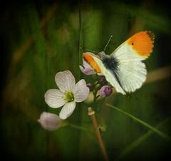 Orange Tip butterfly (Chris Beesley) Tags: orange nature butterfly spring pentax super tip tamron 70300 naturesfinest blueribbonwinner artisticexpression k100d impressedbeauty