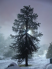 Araucaria in the snow (Lorenzo X) Tags: park parque winter parco white mist snow cold tree blanco torino ilovenature hiver nieve neve invierno neige araucaria albero inverno turin parc bianco blanc freddo soe froid frio coniferous foschia turim fiatlux conifera conifere evergreentree coniferae parcodelvalentino shieldofexcellence flickraward parcodelvalentinotorino