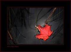 Allgrement ... ( P-A) Tags: automne beaut frais frois parcdelagatineau feuillesmortes majestueux nikond300 lysdor pierreandrsimard colorisautomnal bienttlegelausol paradisdesphotographes bienttltindien visiteursparmiliers