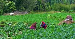 NEPAL, unterwegs  nach Pokhara, im Gemüsefeld , 15227/7927 (roba66) Tags: menschen leute people nepalesen bloem plants pflanzen gemüse reisen travel explore voyages roba66 landschaft landscape paisaje nature natur naturalezza urlaub visit nepal asien südasien asia