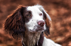 Rupert Bear (Missy Jussy) Tags: rupert puppy dog animal englishspringer springerspaniel spaniel pet portrait dogportrait outdoor outside canon canon70200mm canon5dmarkll