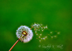 The Florets Fly Away (Sandeep K Bhat) Tags: hairy flower green fly flying nikon fuzzy bokeh smooth away dandelion malavika compositeflower taraxacum blowball florets d90 flyingseeds