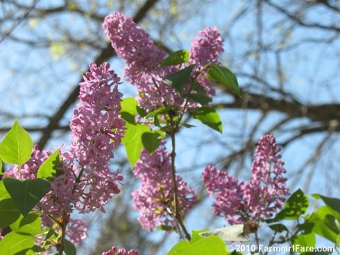 Lilacs! 5