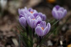 早春の花たち