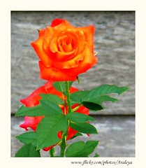 Rose of Chiang Khan (Araleya) Tags: life red orange flower beautiful rose thailand colorful asia southeastasia panasonic khan chiang mekong loei fz50 beautifullife araleya