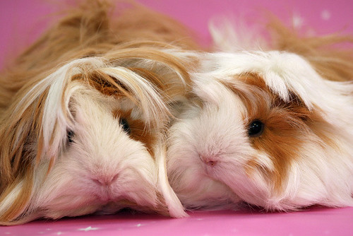 Guinea Pigs by The Shabby Bunny