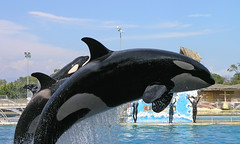 Marineland - orcashow 6 (Romeodesign) Tags: show water french jump riviera orca splash killerwhale themepark marineland biot grampus
