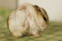 Itch (EricFlickr) Tags: pet pets cute animal taiwan hamster hammy 倉鼠