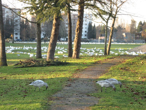 Snowgeese in Richmond