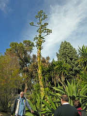 Flowering Agave (6333)