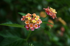 Lantana (*Out of my Mind*) Tags: flowers cute canon 350d weeds little roadtrip lantana dungog chichester noxious 1740mml