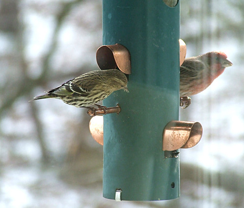 pine siskin and house finch