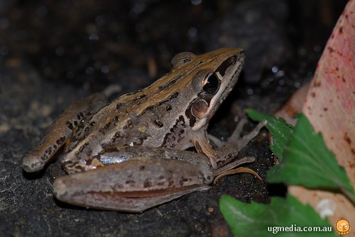 Striped rocketfrog (Litoria nasuta)