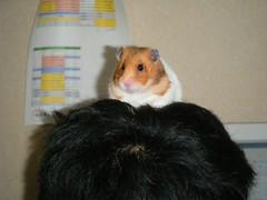 20071227 - 07 (kayako_) Tags: hamster pon