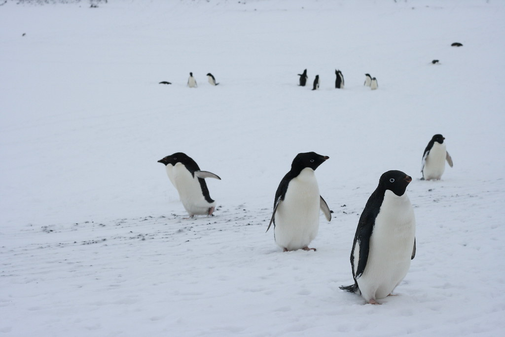 Antarctica: Penguin Hunting by eliduke, on Flickr