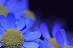 WB BL LED  #7 (Nam2@7676) Tags: flower macro japan dof pentax bokeh led blacklight   nam2 silkypix   kmount 7676  k100d tamronspaf90mmf28dimacro justpentax macroflowerlovers tamron90mm272e nam2at7676 yasunarinakamura  nam27676