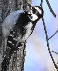 Hairy Woopecker - Female (nature shooter) Tags: fauna woodpecker cubism superbmasterpiece diamondclassphotographer flickrdiamond
