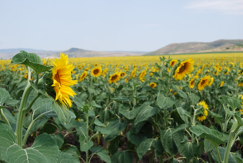 Sunflowers in Bulgaria