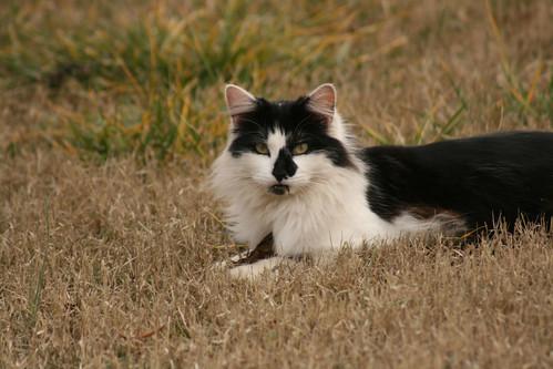 Black and White Cat - IMG_4732