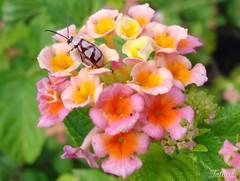 Climb (Kitty & Kal-El) Tags: flowers flower nature bug insect ladybug coleoptera vaquinha chrysomelidae insecta jdbotnico betterthangood
