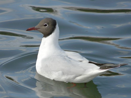 Black-Headed Gull in Southwark Park