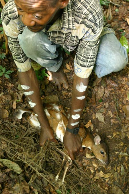 pygmy antelope caught