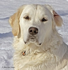 Noble Girl (Chase Images) Tags: winter dog chien cane goldenretriever perro blueribbonwinner lakegeorgeny supershot mywinners platinumphoto excellentphotographerawards theunforgettablepictures overtheexcellence chaseimages goldenheartaward top20wintergoldens