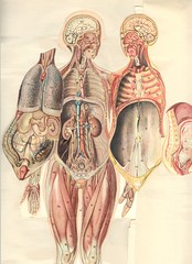 anatom 37 4c