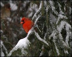 Winter Red (Gaby Swanson, Photographer) Tags: trees winter ohio bird nature birds outdoors photography cardinal wildlife malecardinal ohiostatebird gabrieleswansonphotography