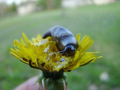 Slug on dandelion