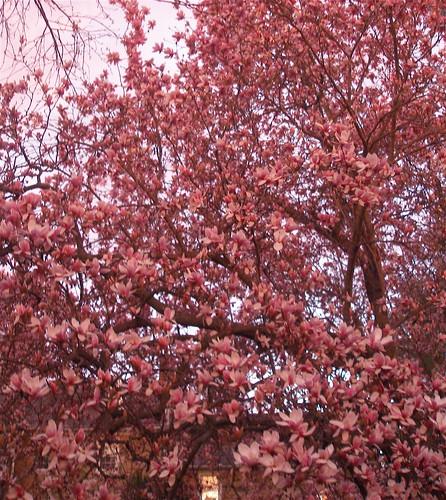 magnolia at dusk