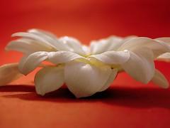spider daisy (✿ Graça Vargas ✿) Tags: flower explore daisy margarida interestingness466 graçavargas duetos ©2008graçavargasallrightsreserved 34025200513