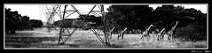 Giraffe (cPutter) Tags: africa wild bw animal southafrica giraffe novideo kameelperd cputter