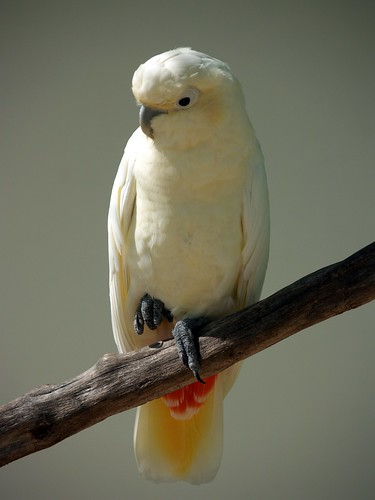 wallpapers of animal cacatua pictures