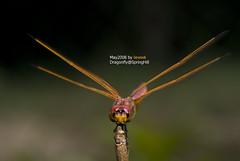 Drangonfly - F2F