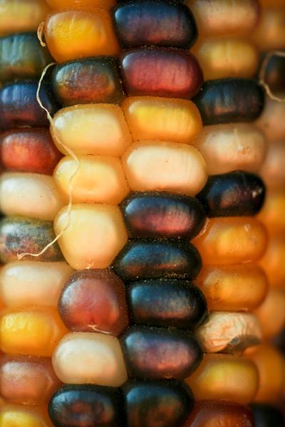 A corn of many colors