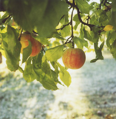 gravenstein (lawatt) Tags: tree film apple sunshine polaroid orchard 600 sonomacounty slr680 graton gravenstein roidweek2008