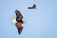 Drama in the sky (alicecahill) Tags: usa baldeagle ©alicecahill sanluisobispocounty centralcoast eagle peregrinefalcon animal california wild sweetspringsnaturepreserve sweetsprings bird flying falcon raptor wildlife dramatic