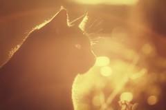 7//52 Good morning sunshine (NikkiNakkiNoo365) Tags: beauty canon1100d light coco beautfiul sunshine backlight nature tamron90mm 7 morning bokeh 52weeks2017 cat portrait warmth love pet ❤ adailydoseofvitamind fortheloveofcatsandsunshine 😻 ☀️