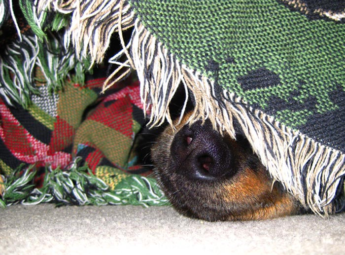 dog nose under blanket