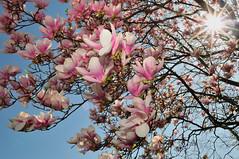 Magnolia (hjhipster) Tags: pink usa sun newjersey blossom sb600 nj flare magnolia 1855mm nikkor jerseyshore fillflash gardenstate 2010 floweringtree capemaycounty nikkor1855mm westcapemay nikkor1855mmf3556gvr nikond300s hjhipster capemayisland